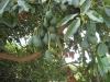 Avocado træ i dalen