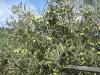 Oliven træ i dalen